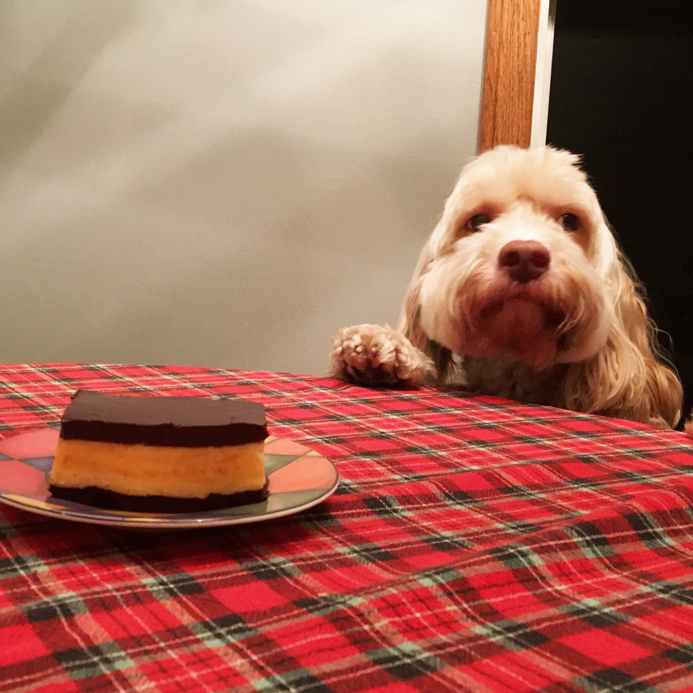 cockapoo with brownies